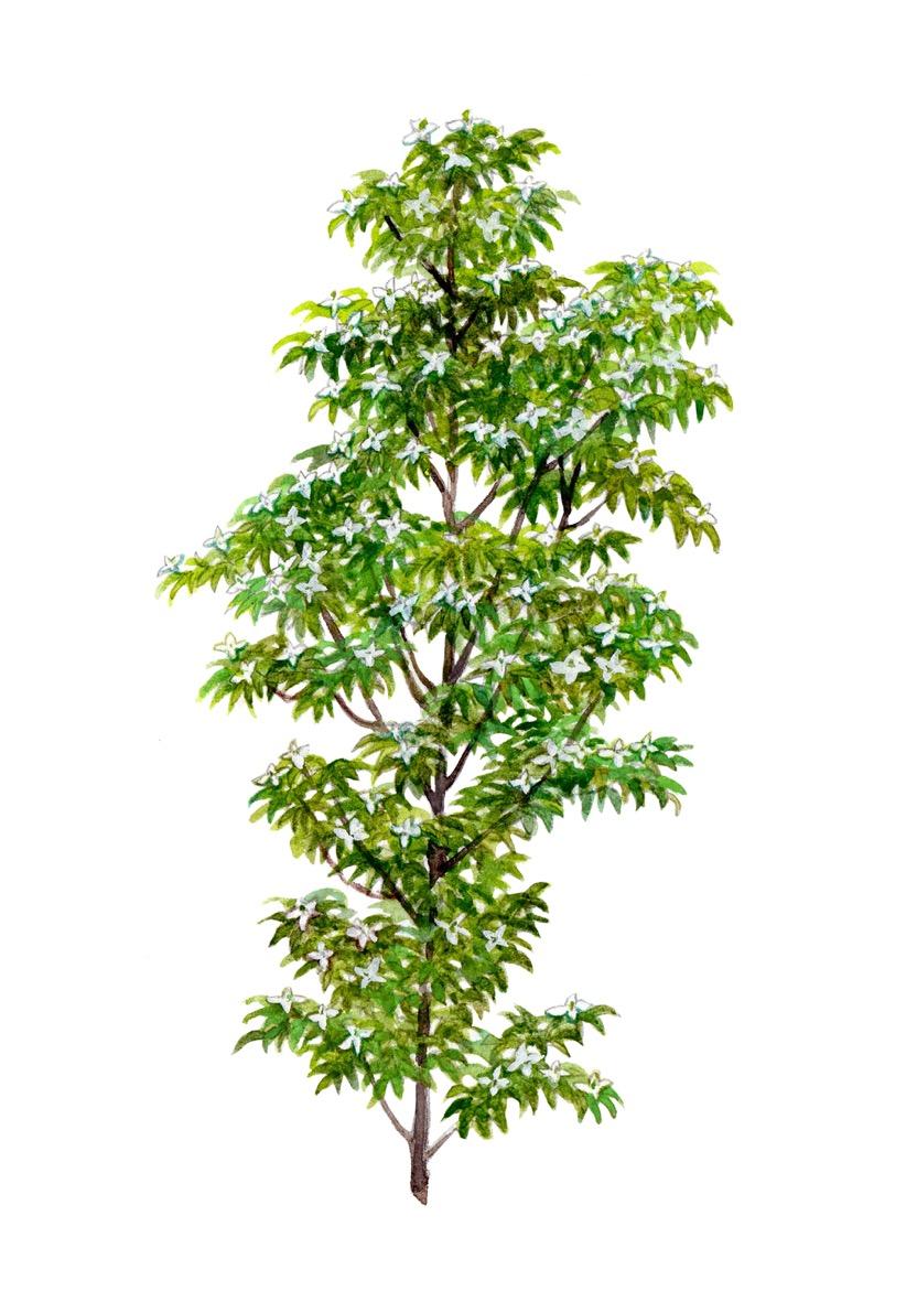cornus hongkongensis tree
