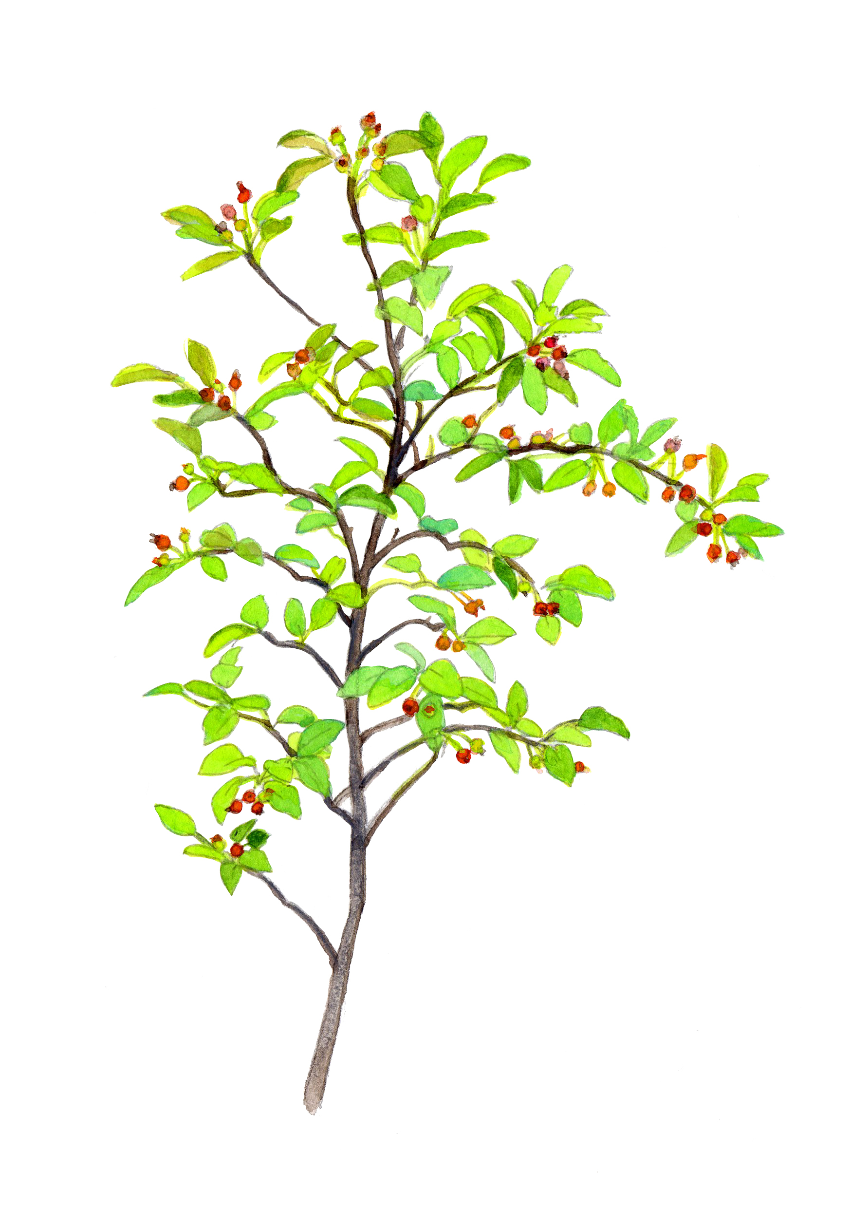 juneberry tree