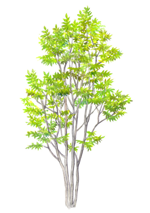 tamo tree