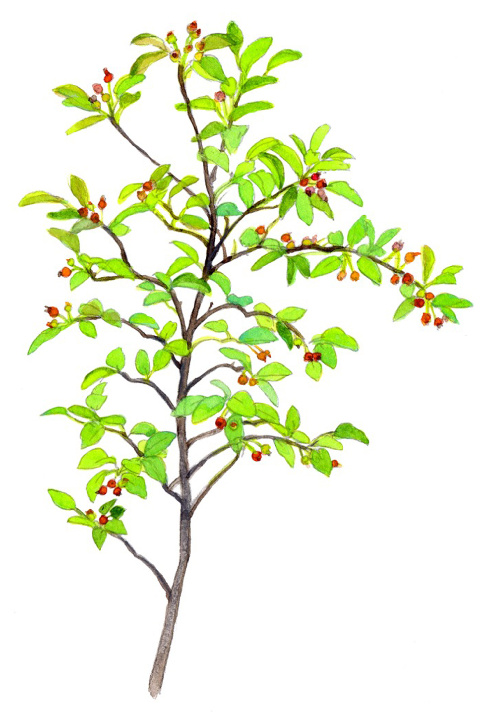 juneberry-tree