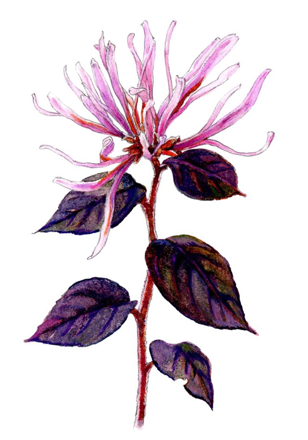 loropetalum chinese blossum